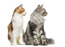 Two Maine Coons sitting Royalty Free Stock Photo