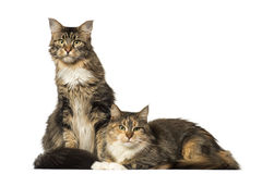 Two Maine Coons sitting, lying and looking away Royalty Free Stock Photos