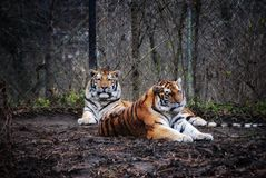 Two Majestic Amur Tigers royalty free stock photos