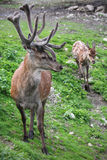 Two majestic deer in wild nature Royalty Free Stock Image