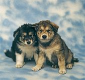 Two malamute puppies Stock Photography
