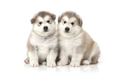 Two malamute puppies Stock Image