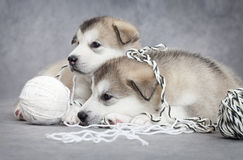 Two malamute puppies with a ball of string Stock Photos