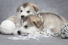 Two malamute puppies with a clew Royalty Free Stock Image
