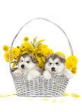 Two malamute puppies in a flower basket Stock Photo