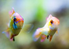 Two malawi cichlid in aquarium.  royalty free stock photo