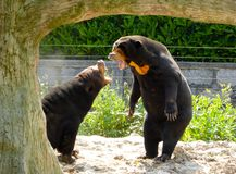 Two Malayan Sun Bears roaring Royalty Free Stock Image