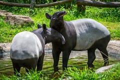 Close up Malayan tapir. Two malayan tapir tapirus indicus Thailand stock photos