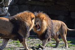 Two male African lions fight and roar in zoo. Two male African lions play, fight and roar in zoo, low angle view Royalty Free Stock Images