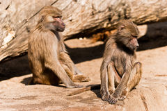 Two male baboons in a ZOO Stock Photo
