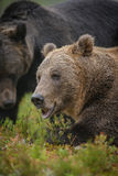 Two male bears Stock Image