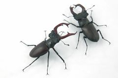 Two male beetles deer on white background. The two male beetles deer on white background stock photos