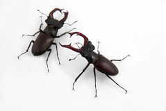 Two male beetles deer on white background. The two male beetles deer on white background royalty free stock photos