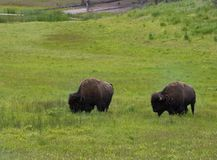 A Pair of Bison. Two male bison grazing in a lush green meadow in Yellowstone National Park. Photographed in natural light Royalty Free Stock Photography