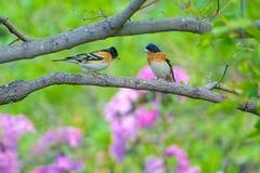 Brambling. Two male Brambling stand on branch. Scientific name: Fringilla montifringilla stock photos