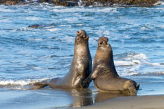Two male bull elephant seals fighting on the beach Stock Photo