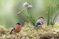 Two male bullfinch standing with chive Royalty Free Stock Image