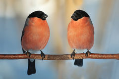 Two male bullfinch Royalty Free Stock Images