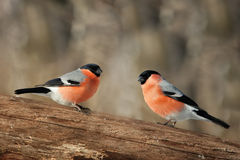 Two male bullfinch Royalty Free Stock Image