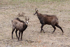 Two male Chamois(Rupicapra rupicapra) in Alps Royalty Free Stock Image