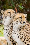 Two Male Cheetahs. Two young male cheetahs standing next to each other royalty free stock photography