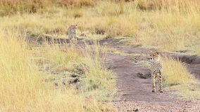 Two male cheetahs in Masai Mara stock video