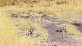 Two male cheetahs in Masai Mara. Two male cheetahs walking on the dusty road in Masai Mara, Kenya stock video