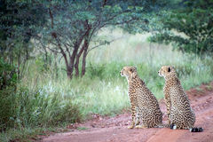 Two male cheetahs Royalty Free Stock Photography