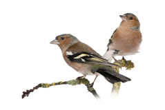 Two Male Common Chaffinchs Royalty Free Stock Photo