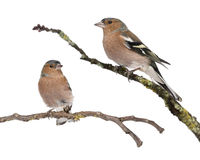 Two Male Common Chaffinchs - Fringilla coelebs Royalty Free Stock Photography
