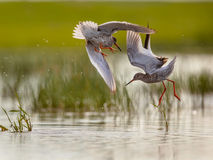 Two Male Common Redshank Fighting Royalty Free Stock Images