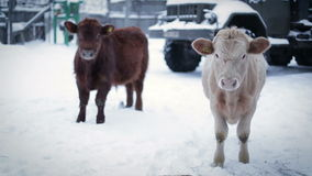 Two male cow on the ground, looking at the camera. Farm in winter stock video footage