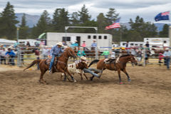 Two male cowboy riders on horses are catching a calf as a team d. Uring a rodeo in New Zealand Royalty Free Stock Photography