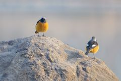 Daurian Redstart. Two male Daurian Redstart stand on rock. Scientific name: Phoenicurus auroreus Royalty Free Stock Image