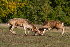 Two male deer fighting stock image