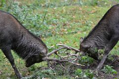 Two Male Deer Fighting during Daylight Royalty Free Stock Images