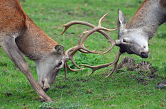 Two male deer  fighting. Two male stag each other with their antlers Stock Image
