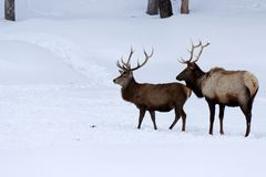 Two male deer with their antler walking in the woods covered of snow royalty free stock photo