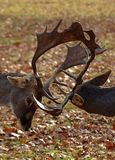 Two male deers fighting with their antlers. Two male deers are fighting royalty free stock photo