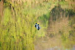 Two male ducks Stock Photo