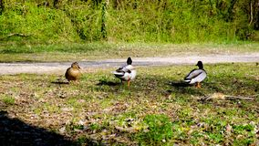Two male ducks, mallards competing to mate with a female, wildlife rivalry stock video