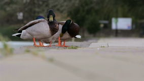 Two male ducks in the park. Standing stock video