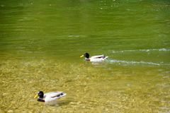 Two male ducks swimming in green water stock photos