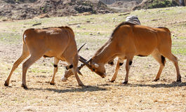 Two male Eland antelope fight Royalty Free Stock Photos