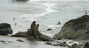 Two male Elephant Seals fighting on the beach Stock Photo