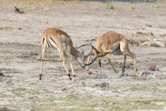 Two male gazelles fighting over female Stock Photo
