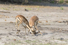 Two male gazelles fighting over female Royalty Free Stock Photography