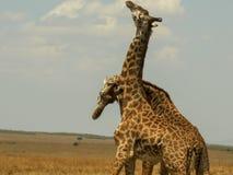 Two male giraffe necking to establish dominance in masai mara. Two male giraffe necking to establish dominance  in masai mara game reserve royalty free stock photo