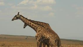 Two male giraffe necking to establish dominance in masai mara. Two male giraffe necking to establish dominance  in masai mara game reserve stock video