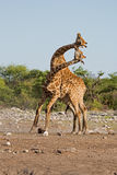 Two male Giraffes fighting Royalty Free Stock Photography